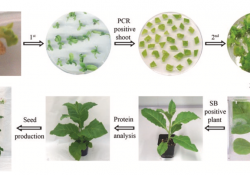 Recombinant Proteins from Plants Fig 3