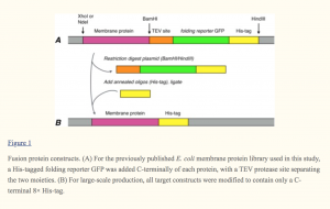 fig. 1 - A rapid expression and purification condition screening protocol for membrane protein structural biology
